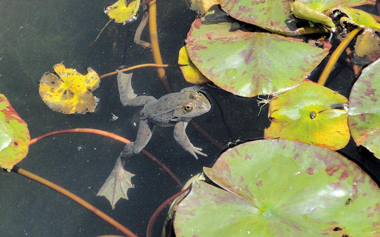 Una rana en el jardín botánico de la UNAM by Huitzitzilin