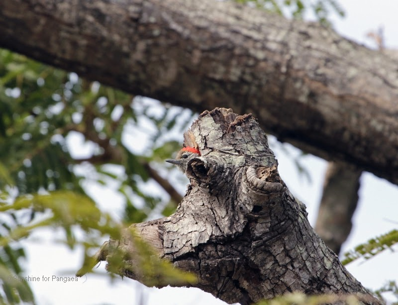 Cardinal Woodpecker in a tree in Gambia