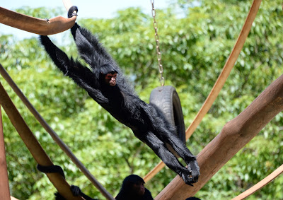 A Spider monkey (Ateles Paniscus) plays at the zoo in Rio de Janeiro, Brazil