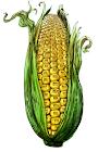 Τα τροποιημένα της Monsanto στο πιάτο μας