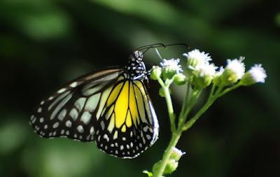 Yellow Glassy Tiger (Parantica aspasia aspasia)