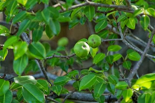 Manchineel Tree, pohon mematikan, poisionous tree