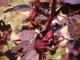 Manfaat bunga rosella ungu