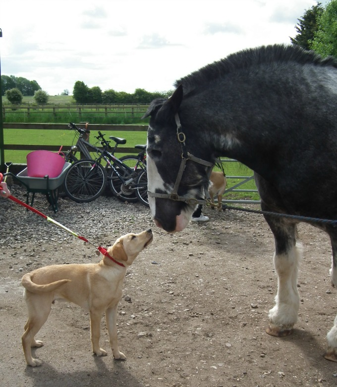 Medical Detection Dog meeting the Horse during training