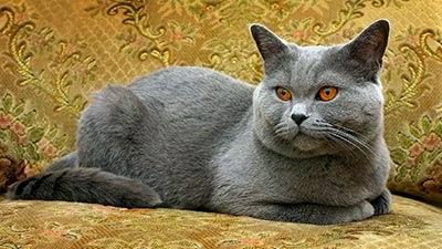10 Kucing Tercantik Di Dunia Ushare Blog