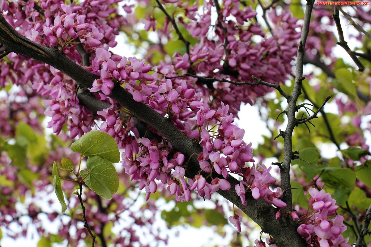 Sauvagement bon la vie en rose - Arbre japonais rose ...