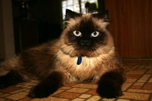 Himalayan Cat | Fun Animals Wiki, Videos, Pictures, Stories