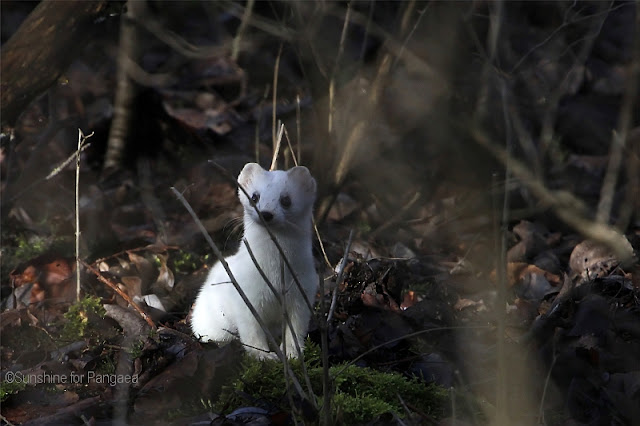 stoat (Mustela erminea) with a white fur