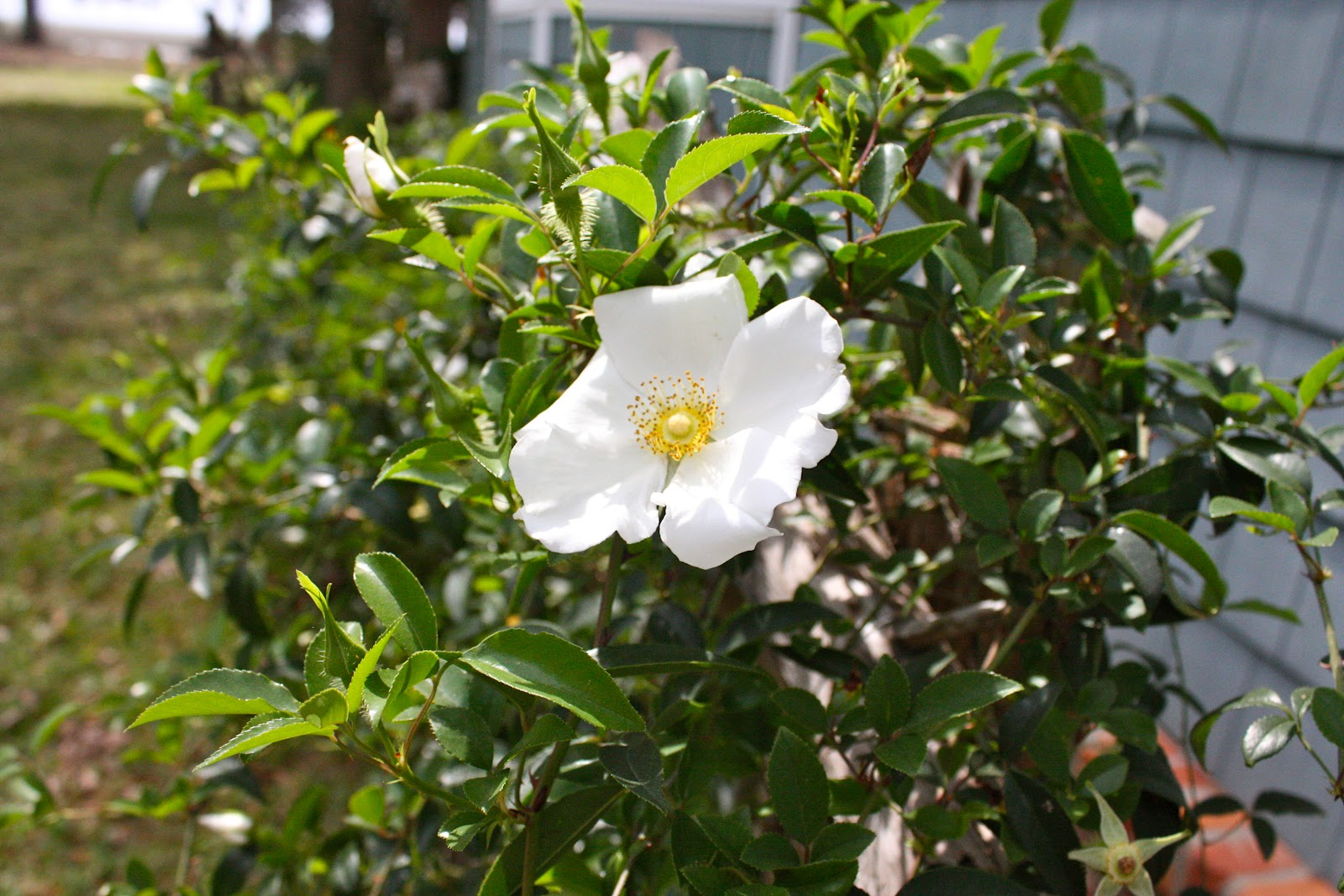 Hammock track tales and the cherokee rose for Cherokee rose