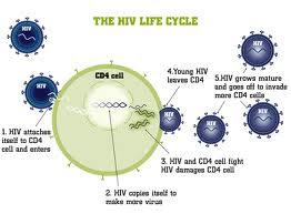 T Hücreleri (Cd4 Ve Cd8