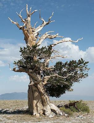 Inilah Dia 3 Pohon Paling Tua di Dunia