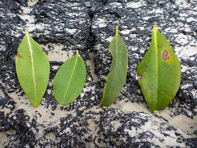 Comparison of Mangrove Leaves, Puerto Villamil, Isabela Island, Galápagos