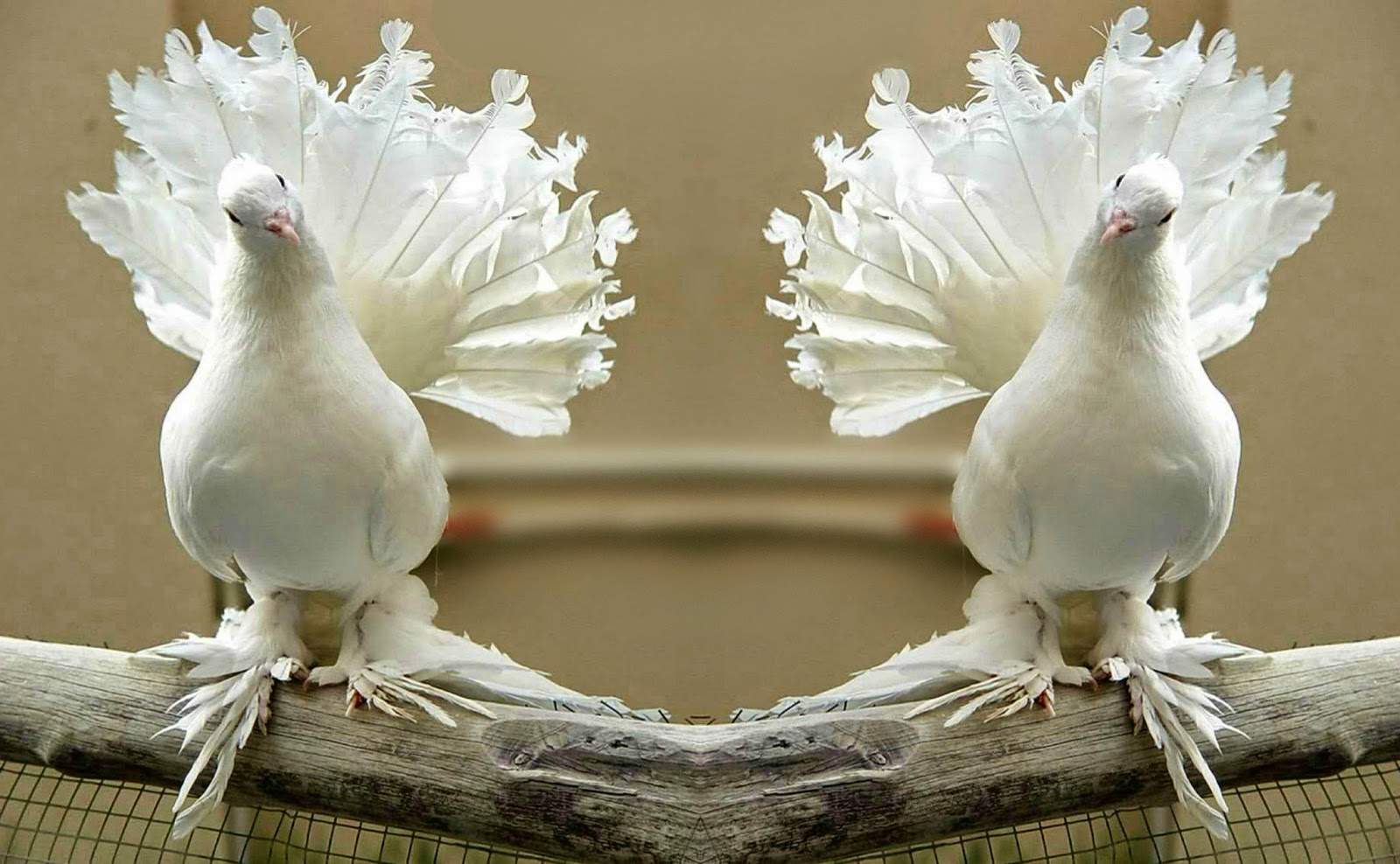 the racing pigeon hd wallpaper: pigeon