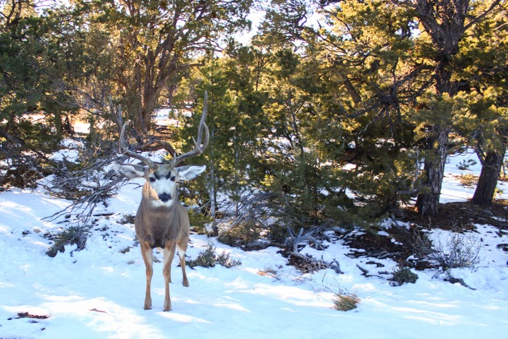 The Grand Canyon-mule deer