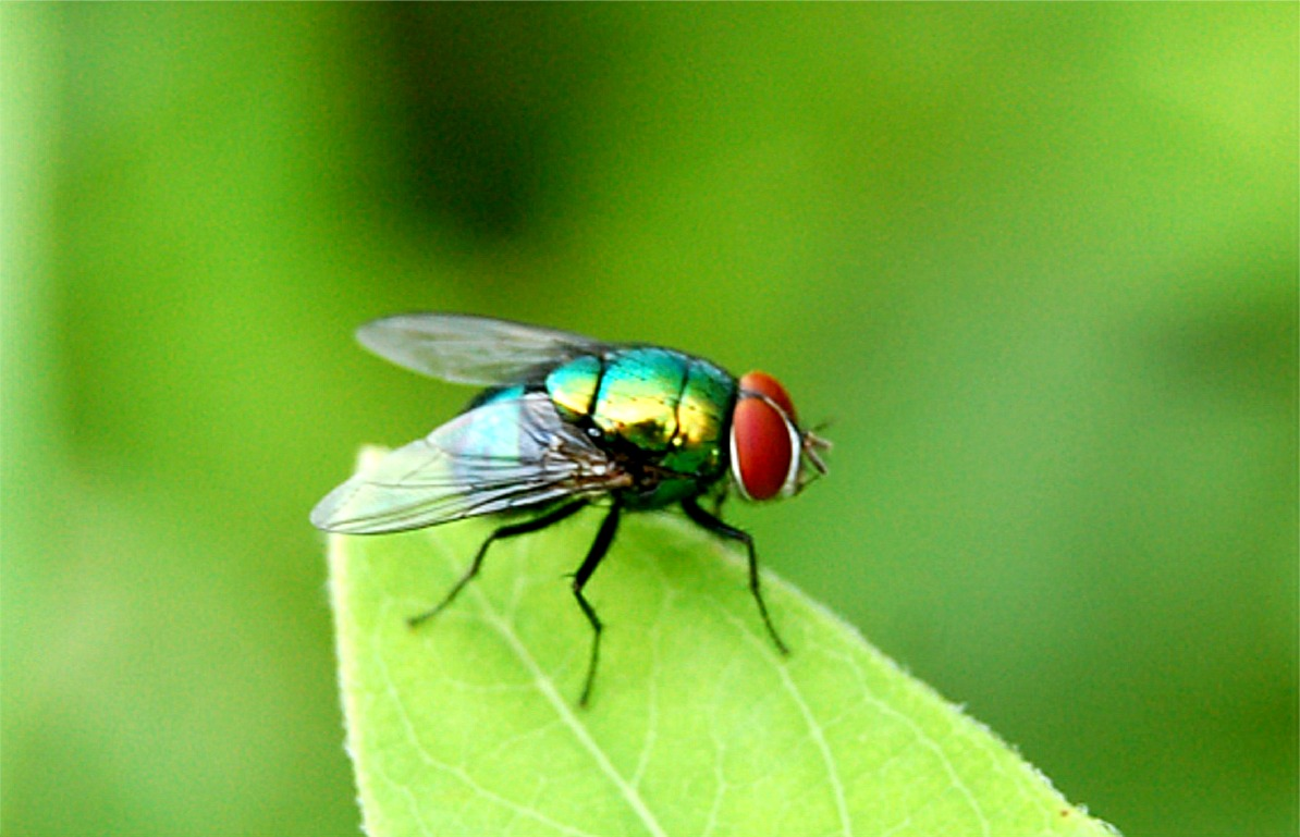 The insect fly includes bugs like the mosquito a tiny
