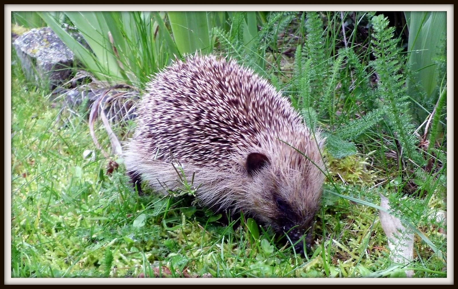 Dans mon jardin et ailleurs mignon petit h risson for Herisson dans mon jardin