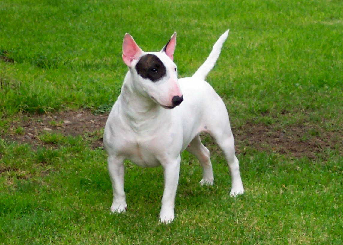 American Pit Bull Terrier | The Life of Animals