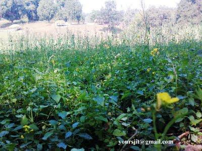 Sarso Plant