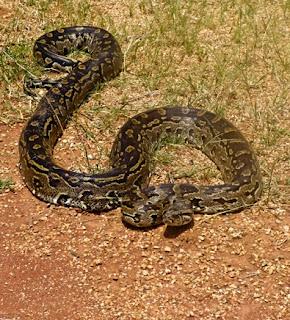 African Rock Python Florida
