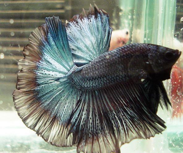 Betta Fish Collection