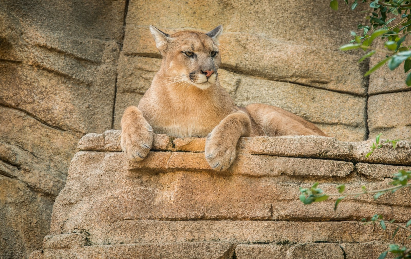 cougar - hd wallpapers | earth blog