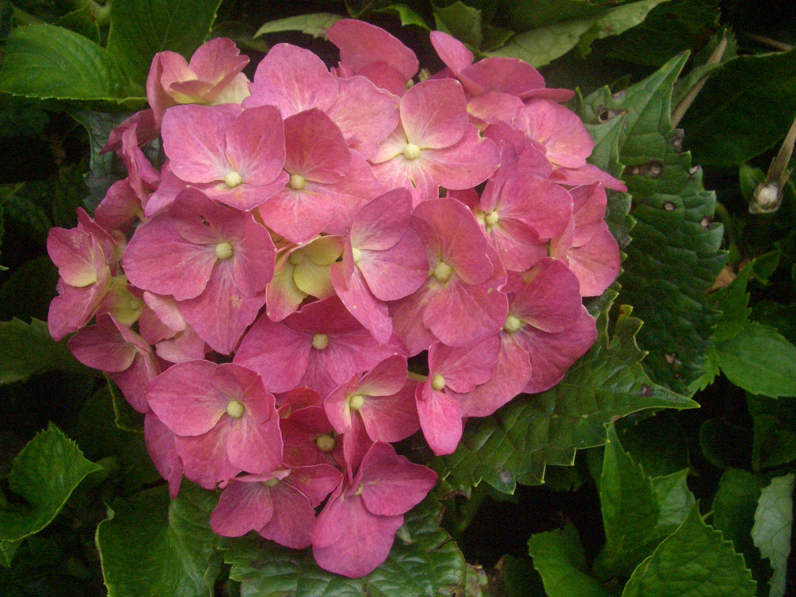 Eileen first interest beautiful plants and flowers hydrangea hydrangea flower light blue pink and purple flower arrangements izmirmasajfo