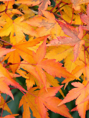 Acer palmatum Kiyo-hime  Japanese maple fall foliage detail Toronto Botanical Garden by garden muses-not another Toronto gardening blog