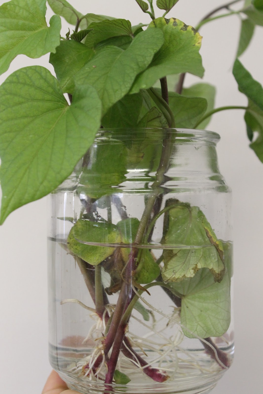 how to grow a potato plant in a jar