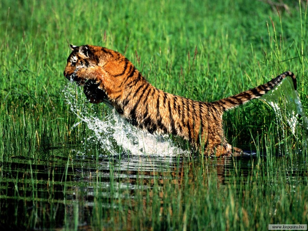 bengal tiger wallpapers | animals library