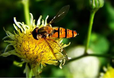 Abeja recolectando la miel de las flores silvestres - episyrphus balteatus - Bee
