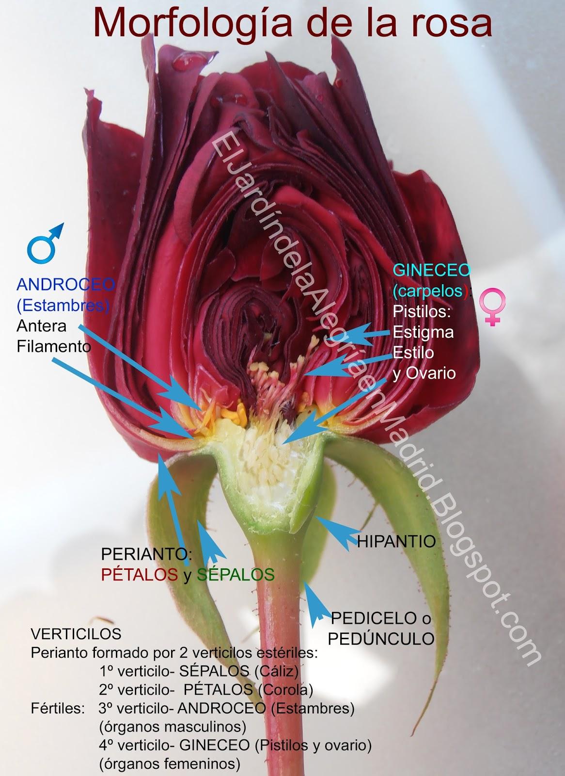 El jardín de la alegría : Morfología de la rosa