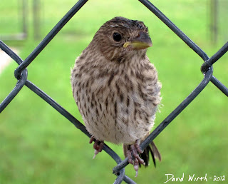 baby bird on fence, brown, wren, wet, raining