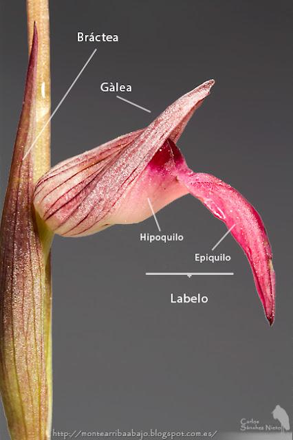 Partes de la flor de Serapias.