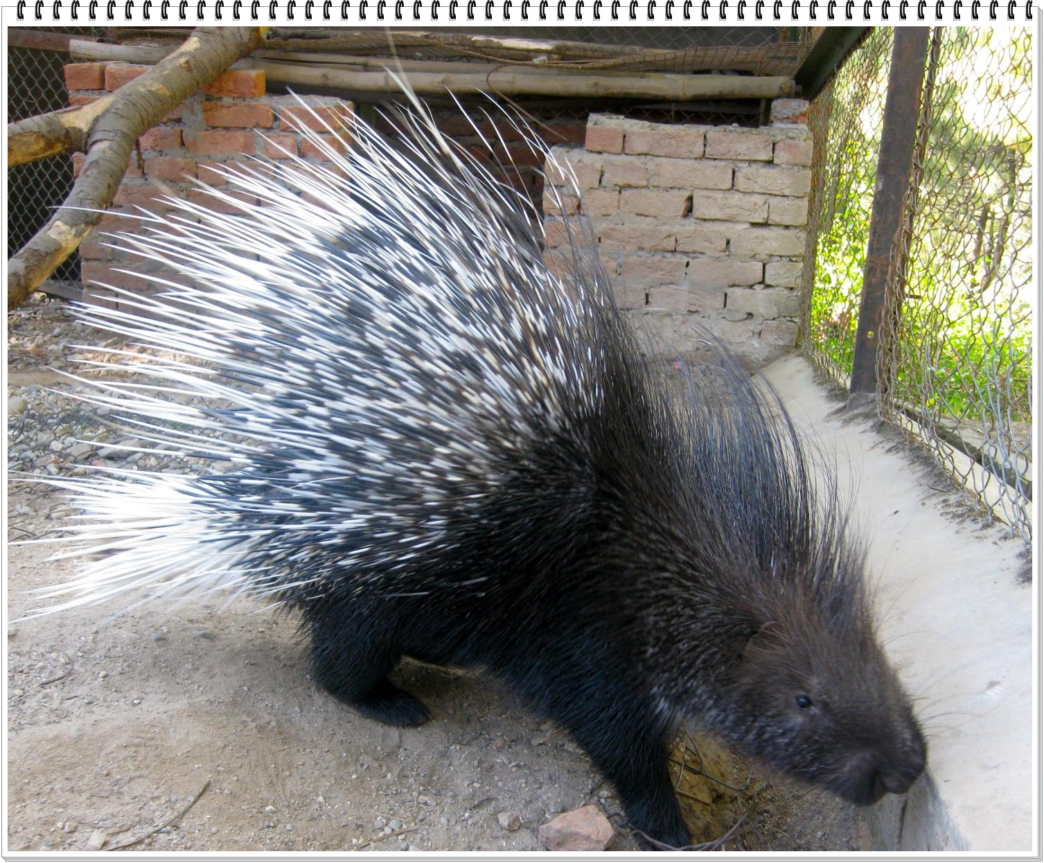 Witty Nity: porcupines.... The Animal with Quills