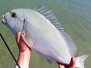 Blue Bastard fish Plectorhinchus caeruleonothus
