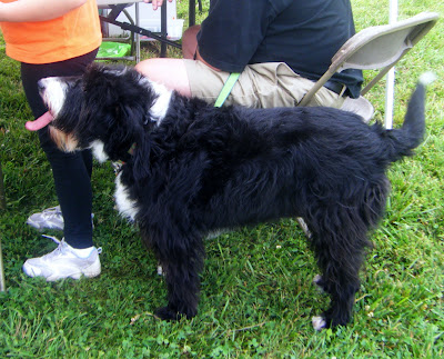 a big shaggy black-and-white dog stands waving his tail and panting