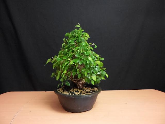 bonsai carpe coreano