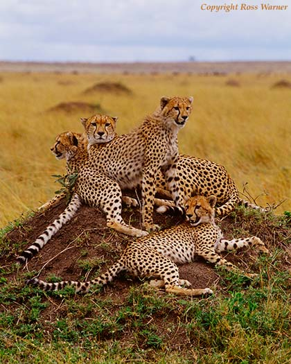 Female Cheetah with her Family 2