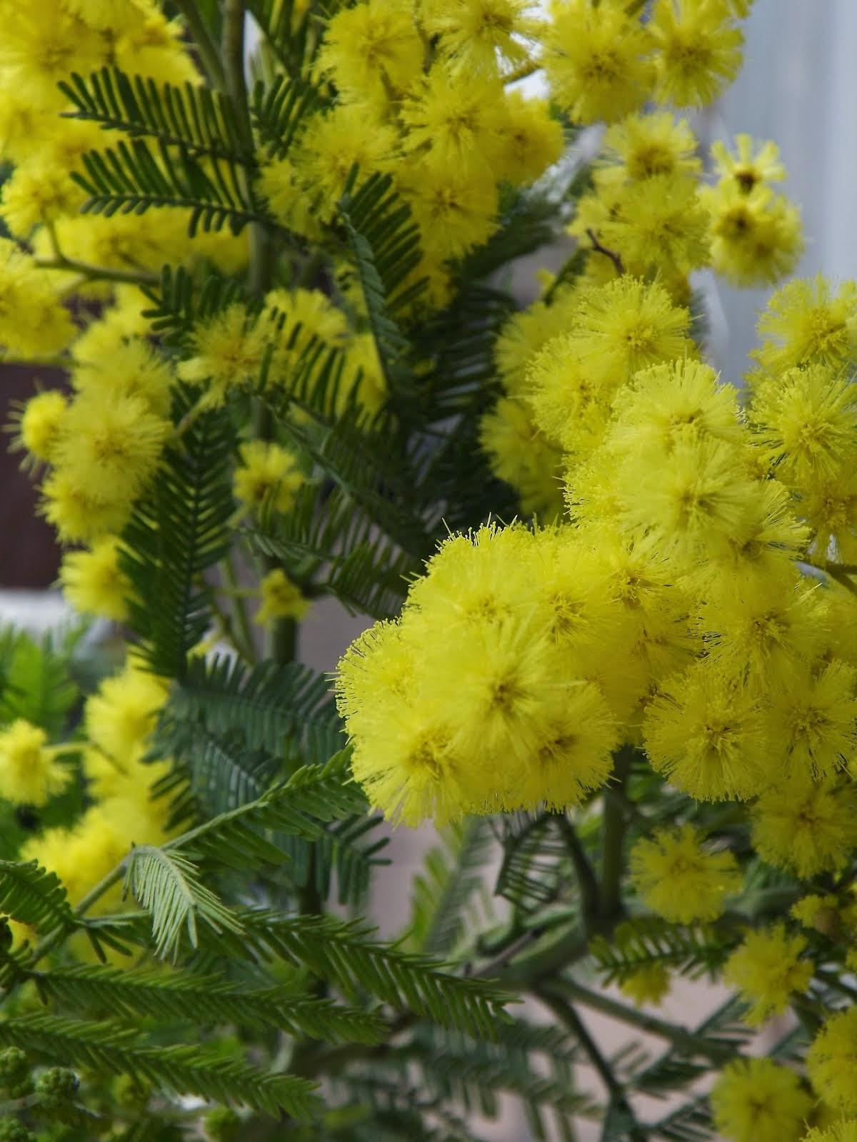 Con sus amarillas mimosas...