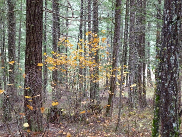Fall in the Fir Forest