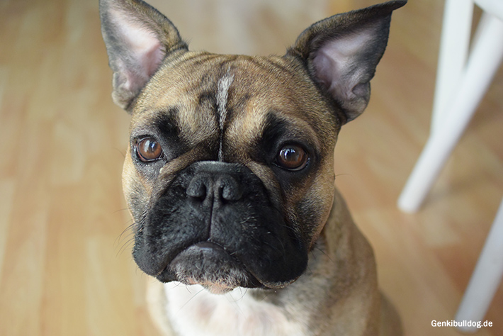 Augenverletzung französische Bulldogge