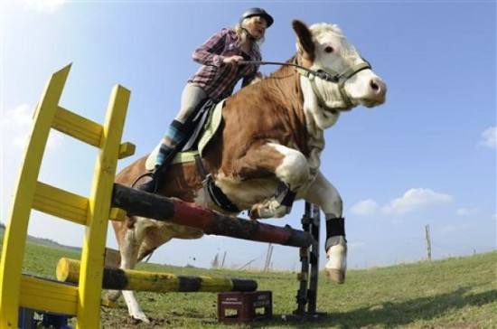 German Girl Trains Cow as a Show Horse