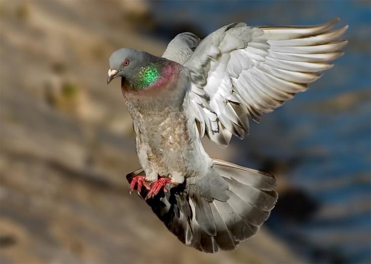 Mis amigas las palomas: Sobre el plumaje y la muda