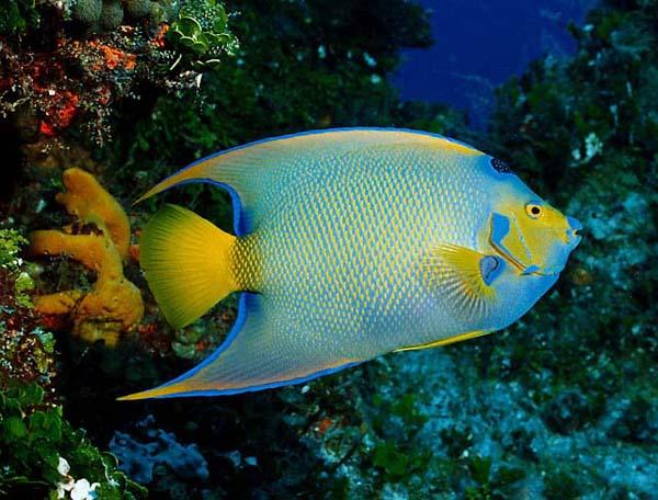 Animals Wallpapers: queen angelfish