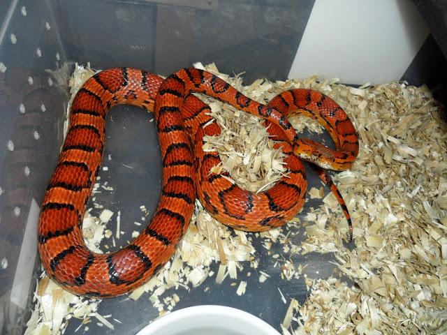 Abbott Okeetee king snake