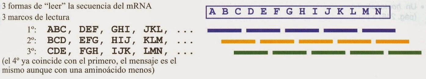 Código genético | Apuntes de Bioquímica