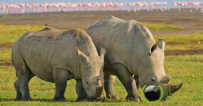 Indian Rhinoceros ( Badak India )