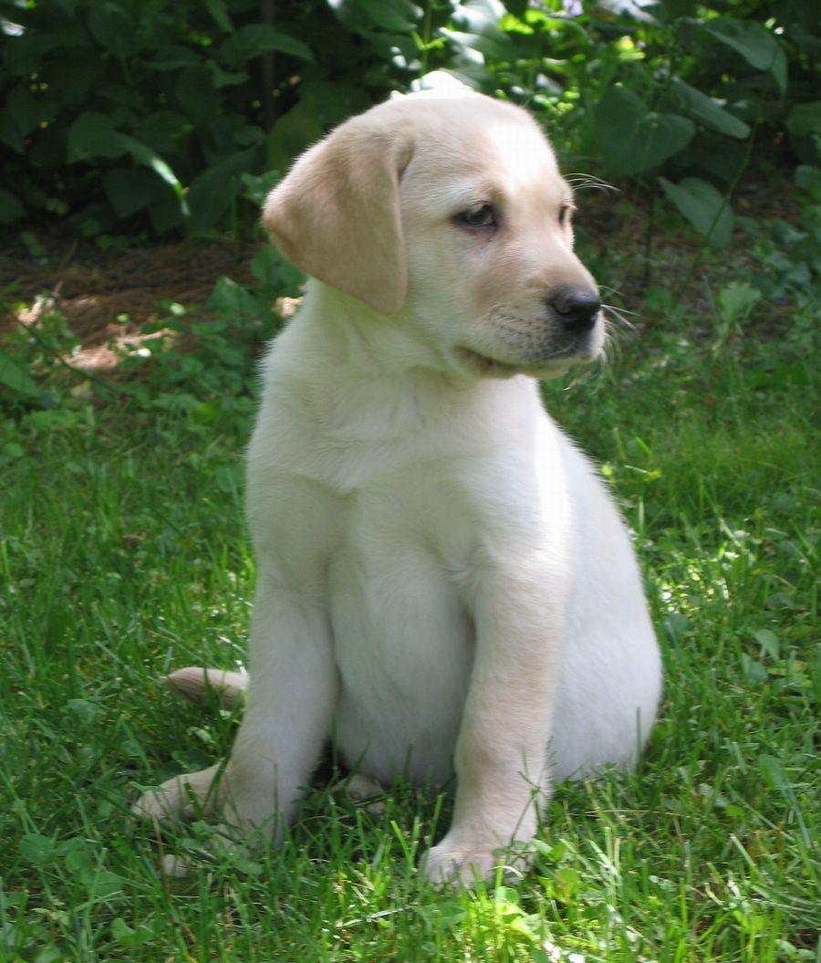 i like dogs.: Golden R...