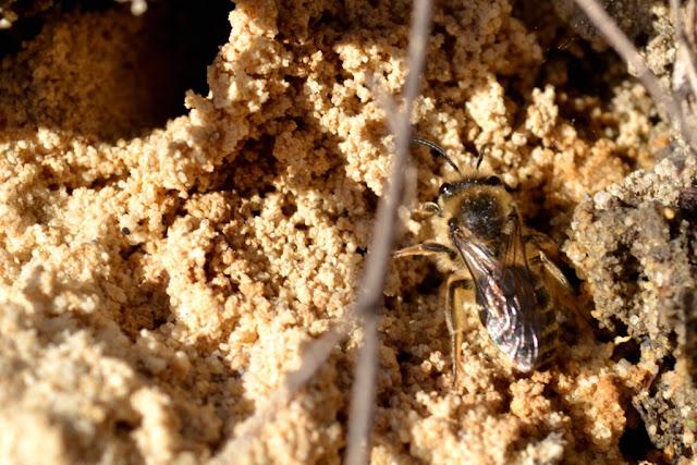 Sand bee/miner bee