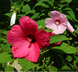Glorious Hibiscus!